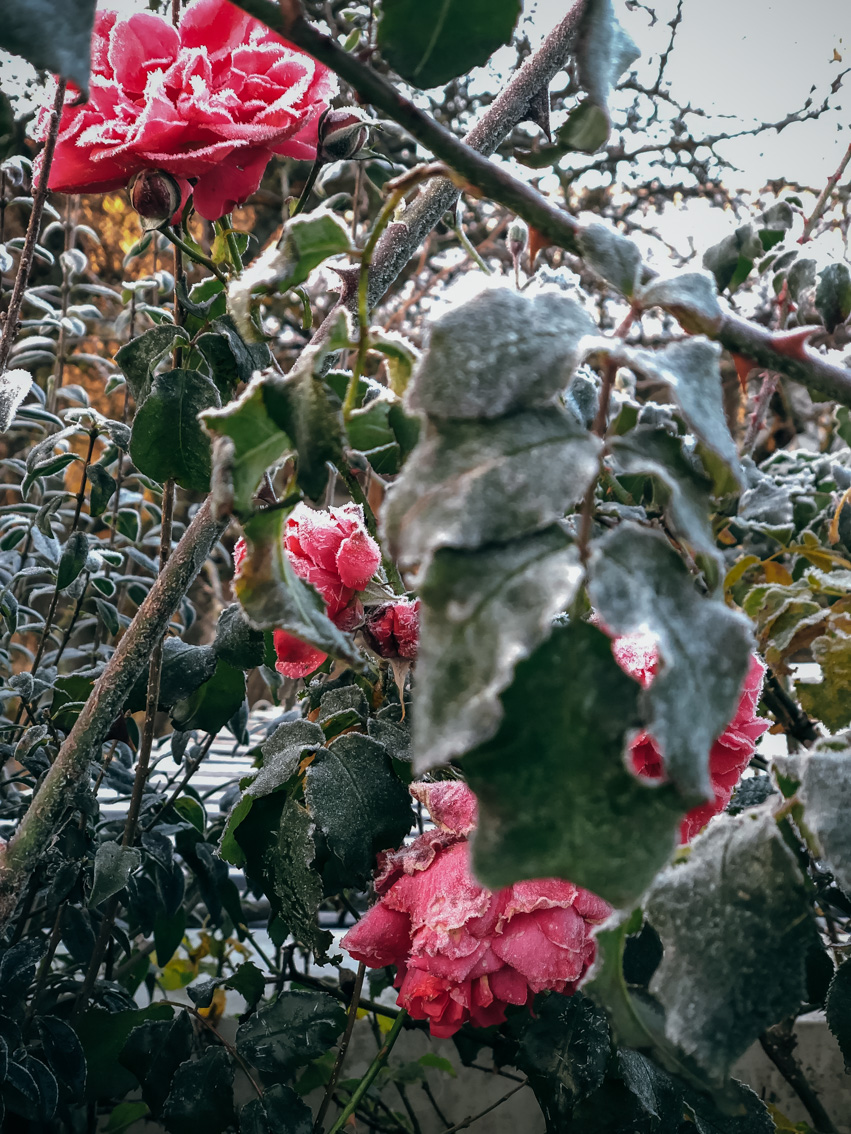 annacate-roses